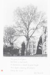 English Elm, University of Washington, to Be Cut for Building Expansion